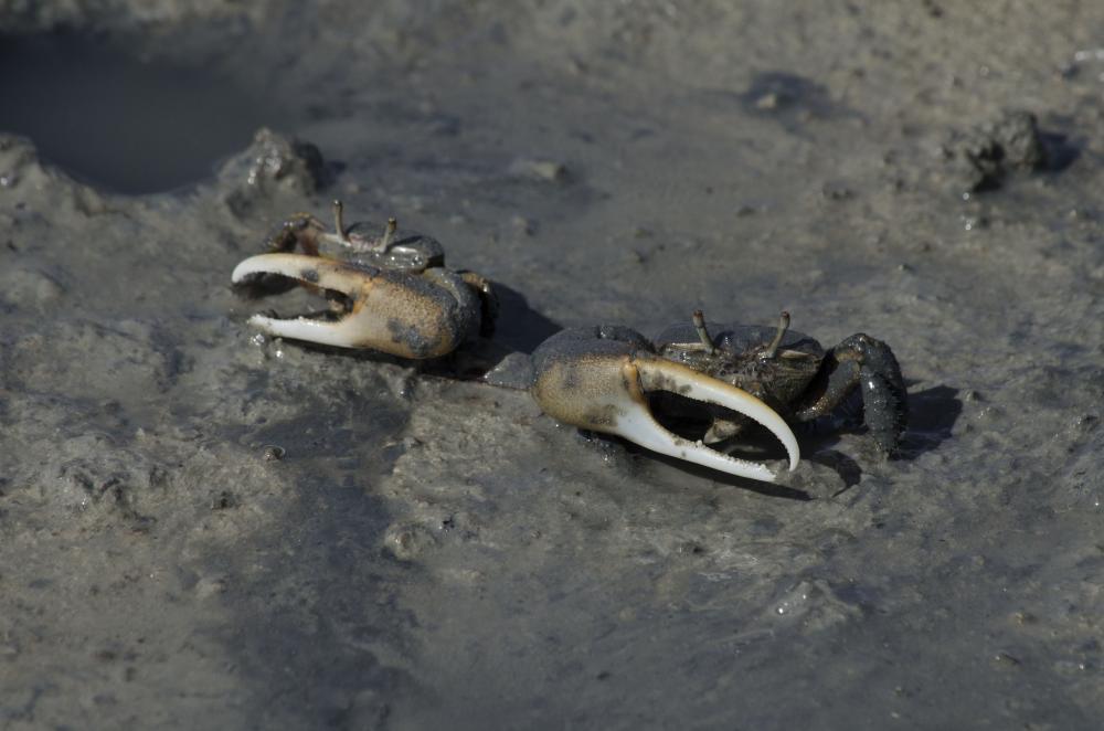 Crabes que l'on trouve par millions dans la mangrove de la pointe salée