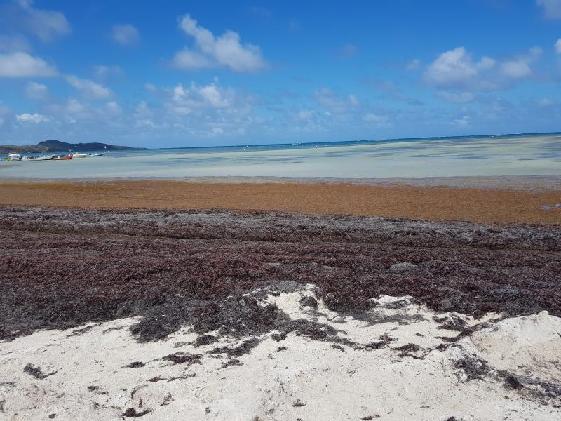 Sargasse en sur la plage du Vauclin en Martinique
