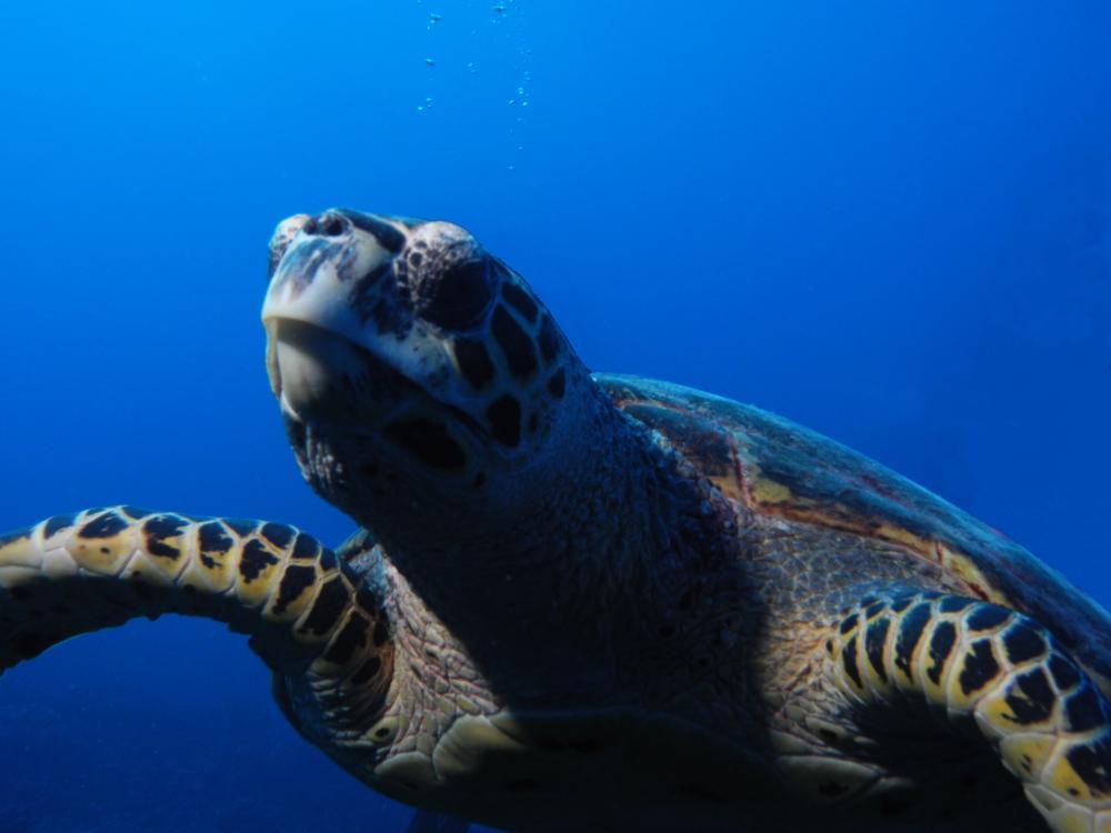 J'ai pris cette photo en Polynésie, mais c'est le même genre de tortue que celle que l'on peut voir en Martinique à l'anse Dufour